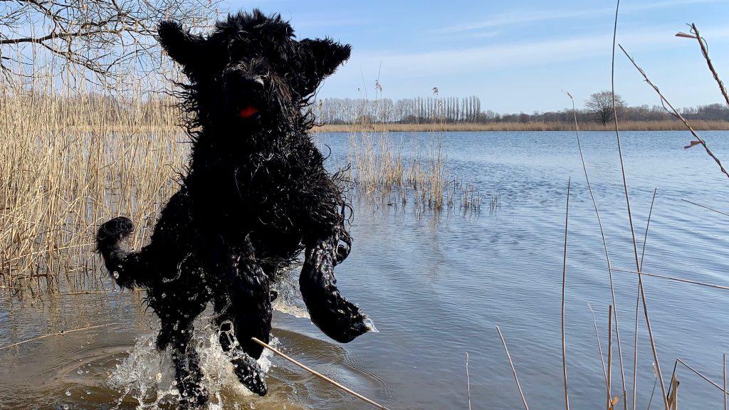 hund schwarzer russischer terrier