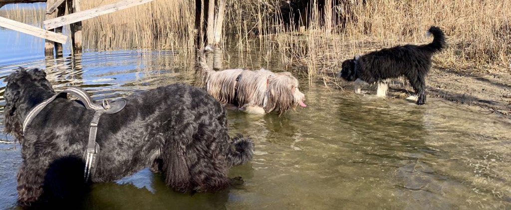Welpe-Bearded Collie-Russischer Terrier