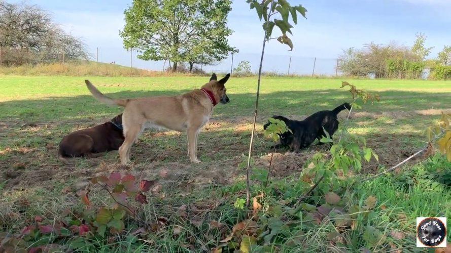 Gassi-Runde-mit-unterschiedliche-Hunde-Wachhund