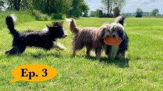 nur-ein-Spielzeug-mehrere-Hunde