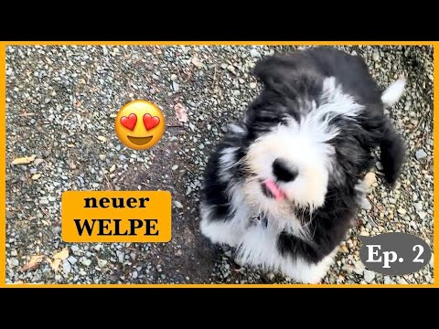 Bearded Collie WELPE Schwarzer Russischer Terrier