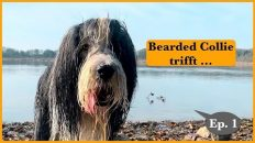 Bearded Collie und Schwarzer Russischer Terrier
