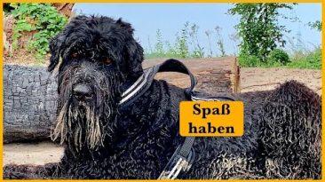Schwarzer-Russischer-Terrier-Portrait